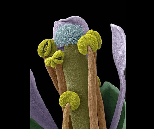 Arabidopsis thaliana flower